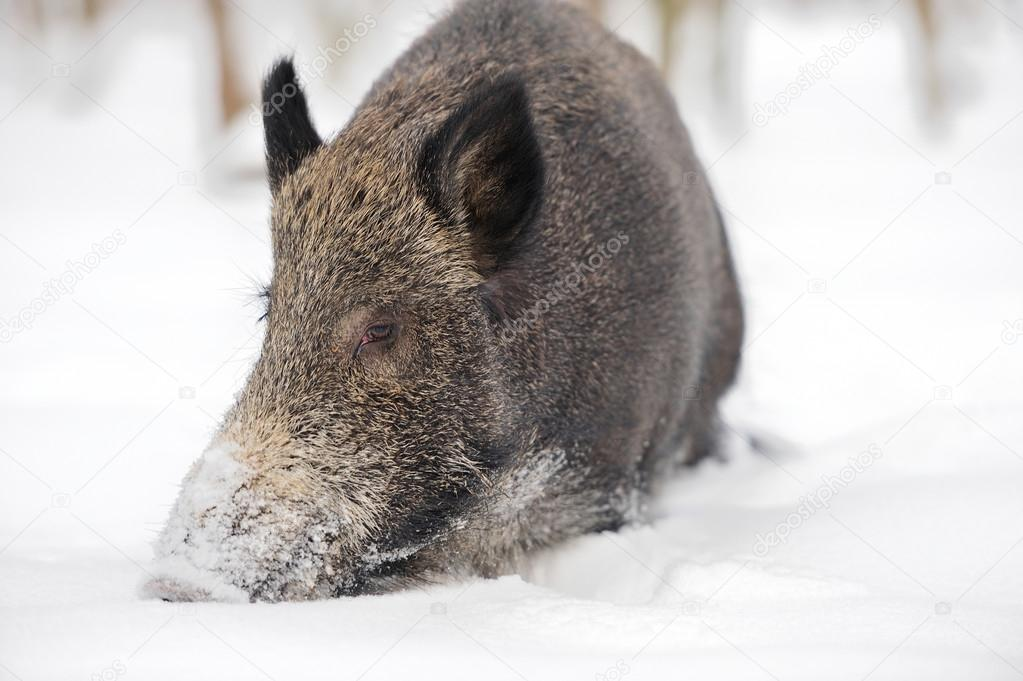 Wild boar in winter forest — Stock Photo #19317179