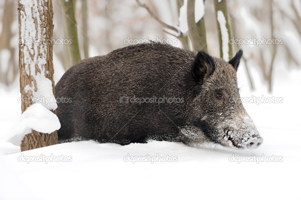 Wild boar in winter forest — Stock Photo #19317181