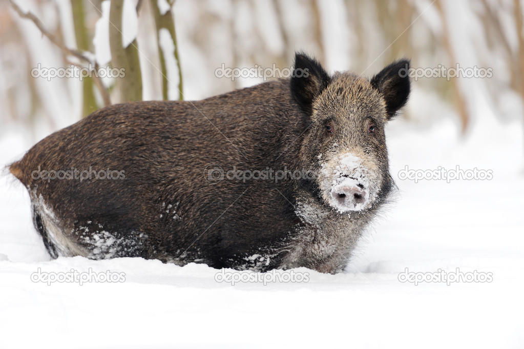 Wild boar in winter forest — Stock Photo #19317185