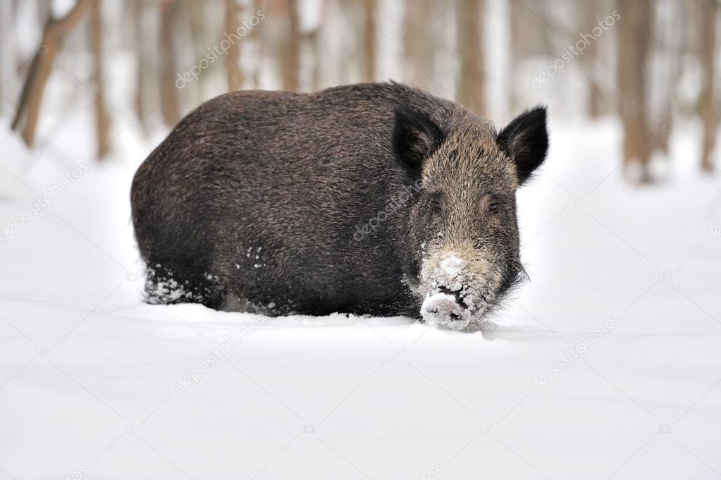 Wild boar in winter forest — Stock Photo #19317187