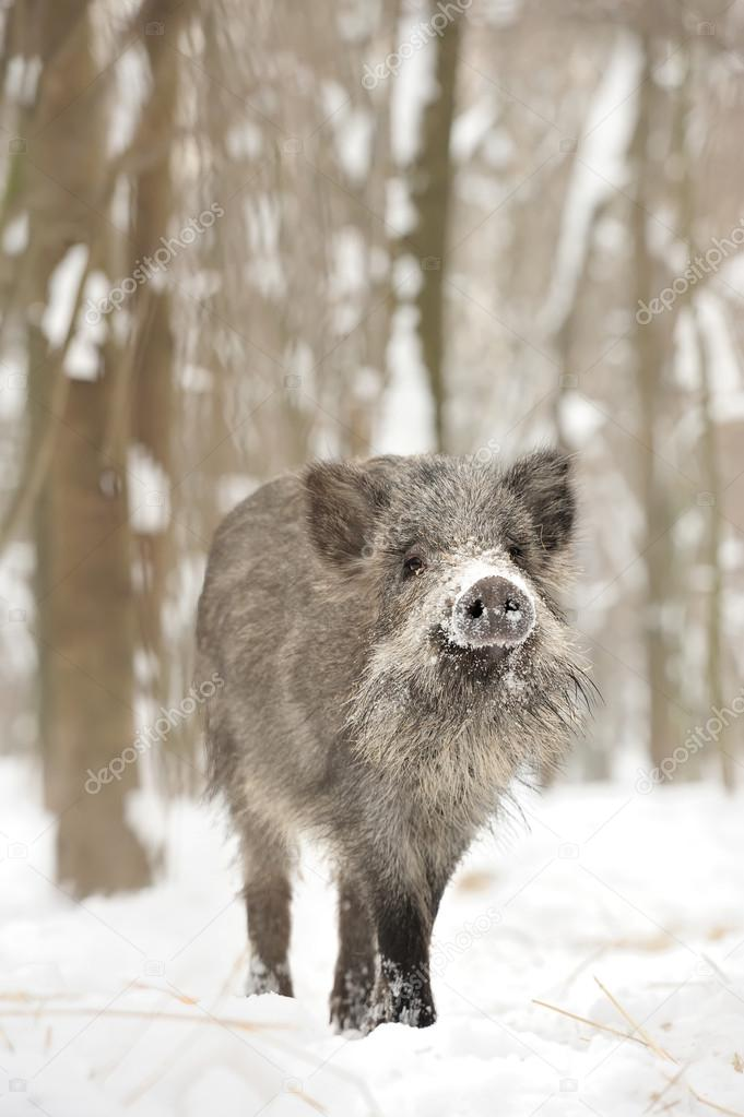 Wild boar in winter forest — Stock Photo #19317189