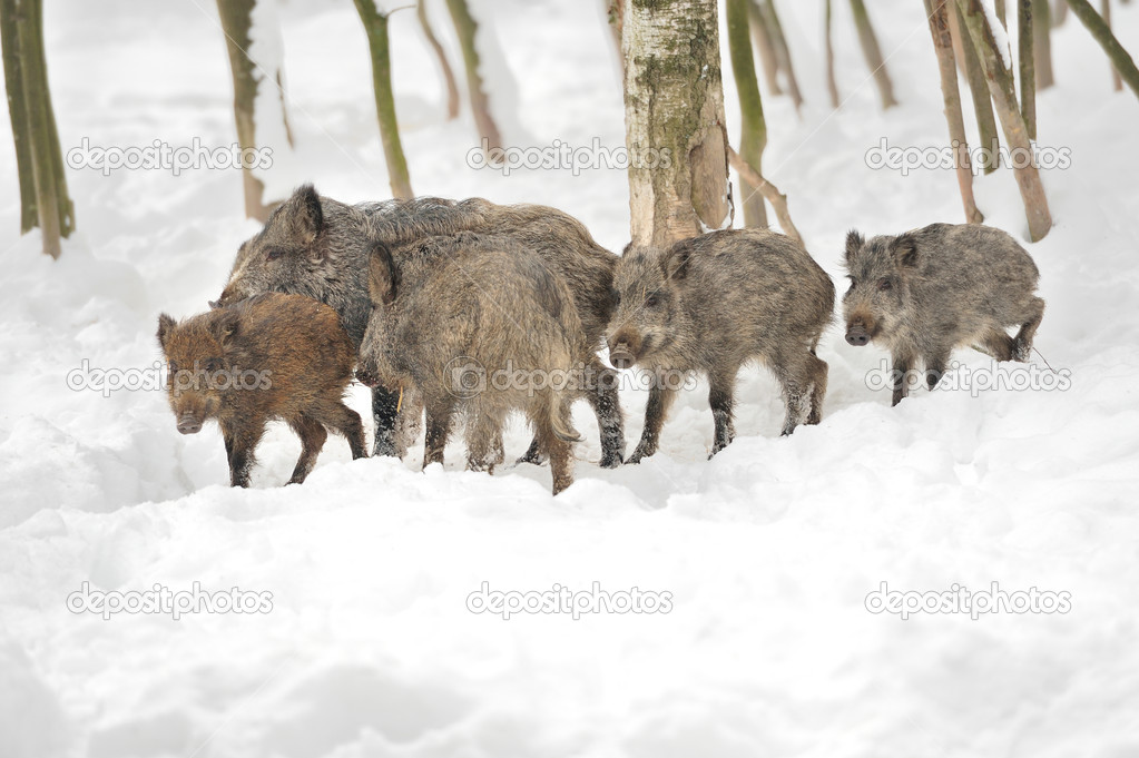Wild boar in winter forest  Stock Photo #19317191