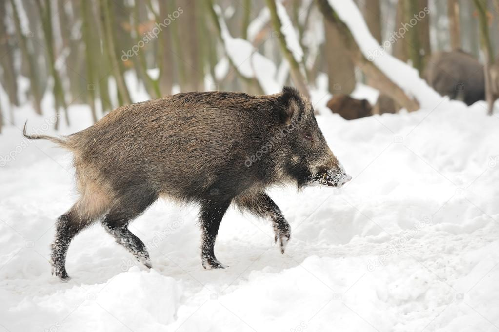 Wild boar in winter forest — Stock Photo #19317193