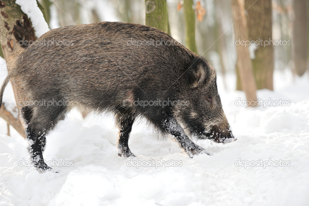 Wild boar in winter forest — Stock Photo #19317201