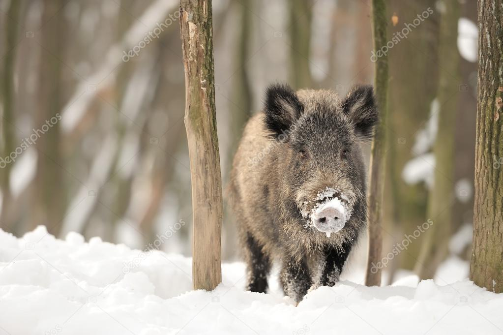 Wild boar in winter forest — Stock Photo #19317209