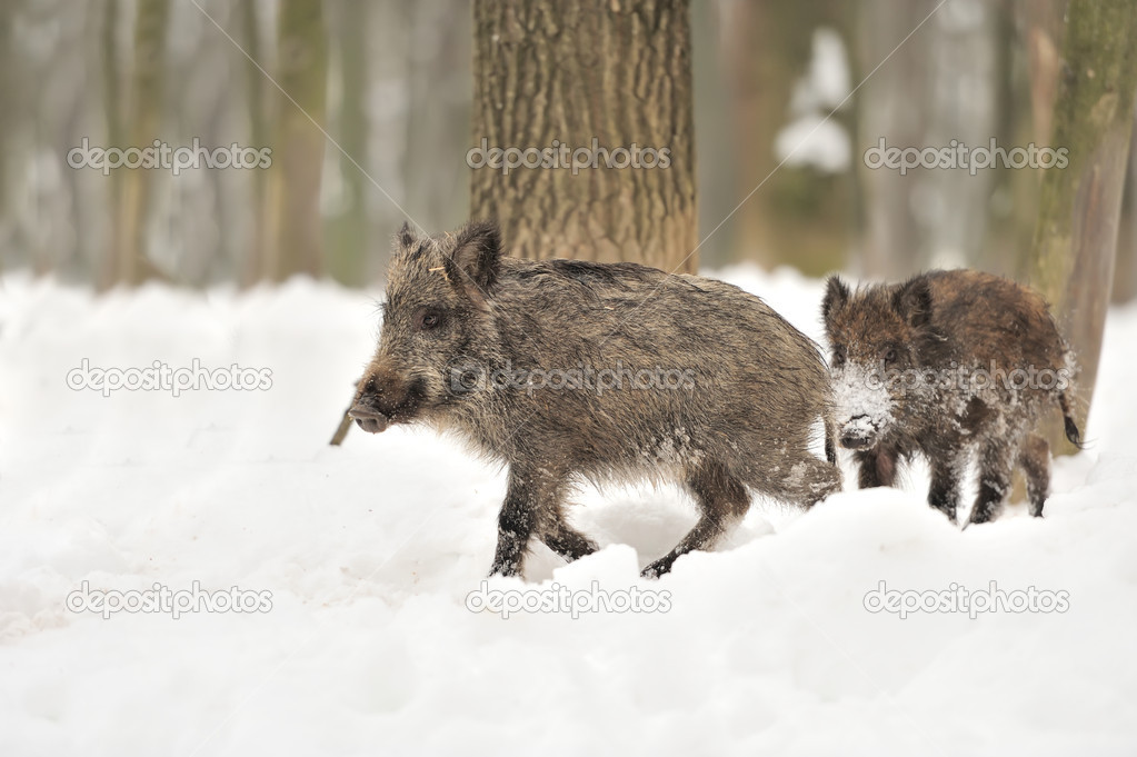 Wild boar in winter forest — Stock Photo #19317267