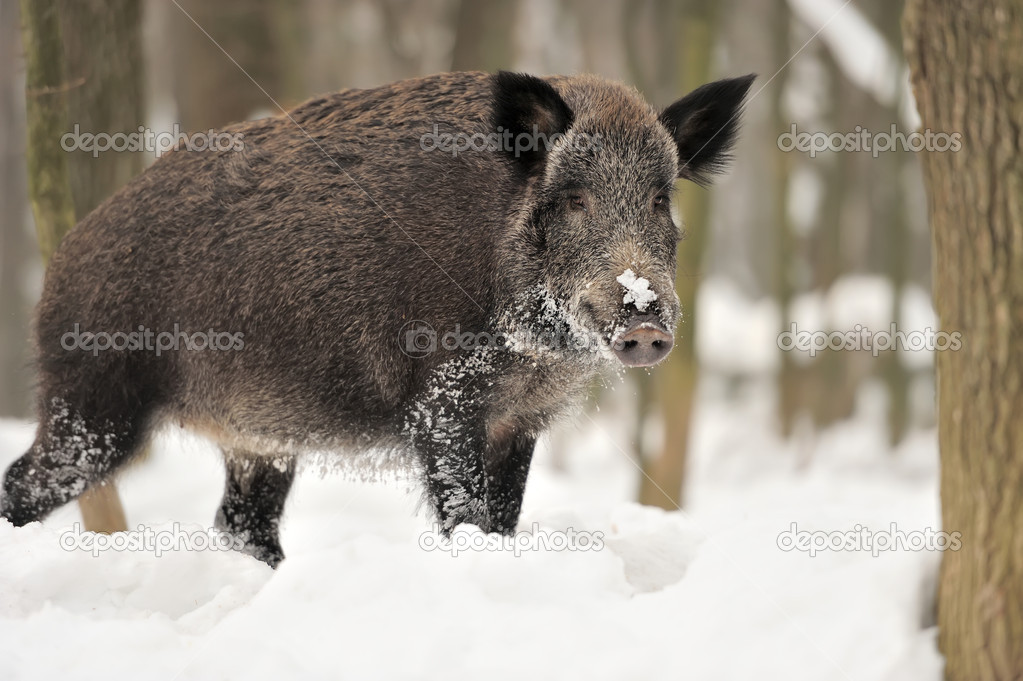 Wild boar in winter forest — Stock Photo #19317269