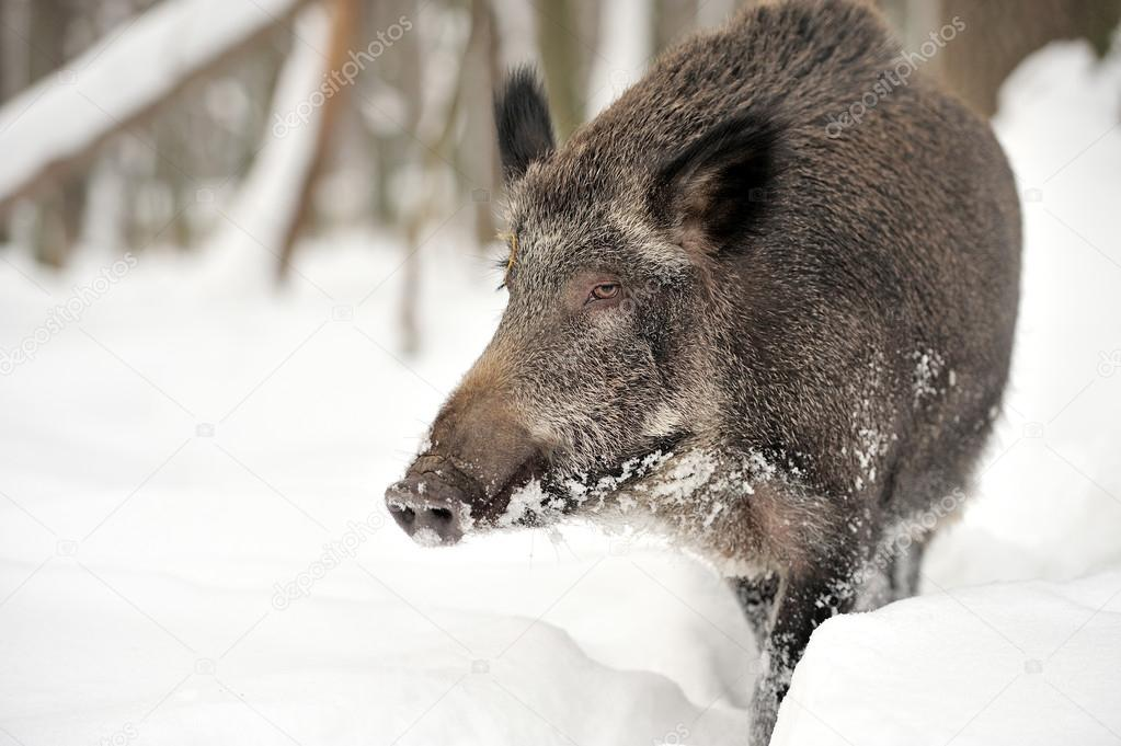 Wild boar in winter forest — Stock Photo #19317277
