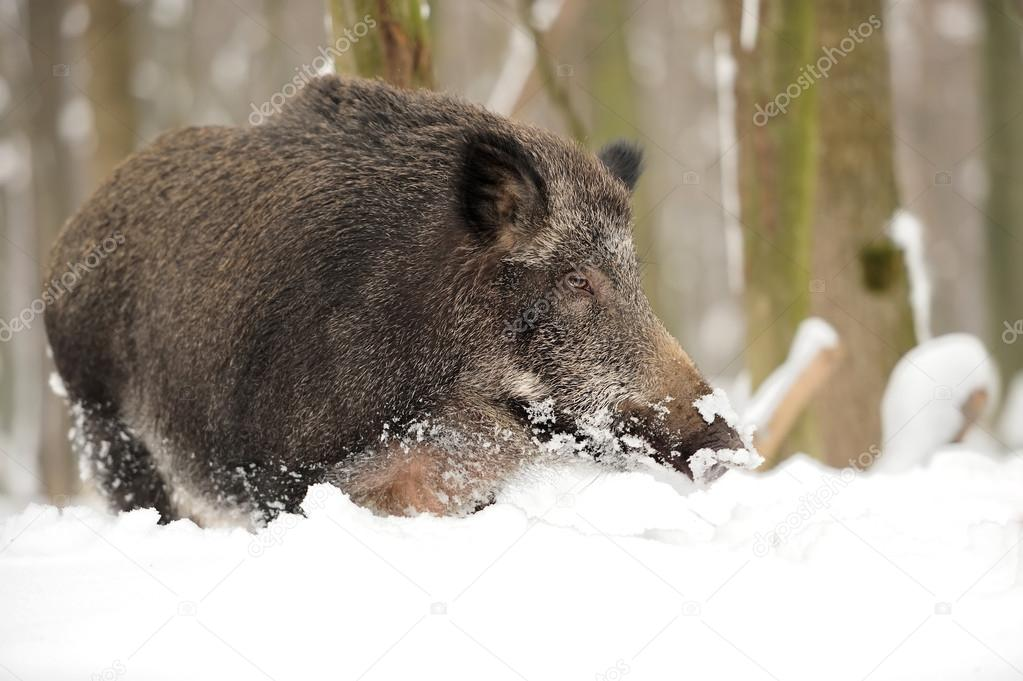 Wild boar in winter forest  Stock Photo #19317287