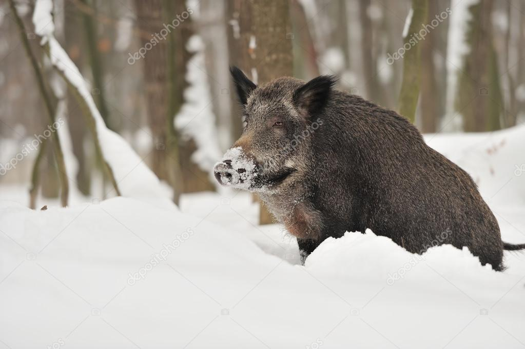 Wild boar in winter forest  Stock Photo #19317293