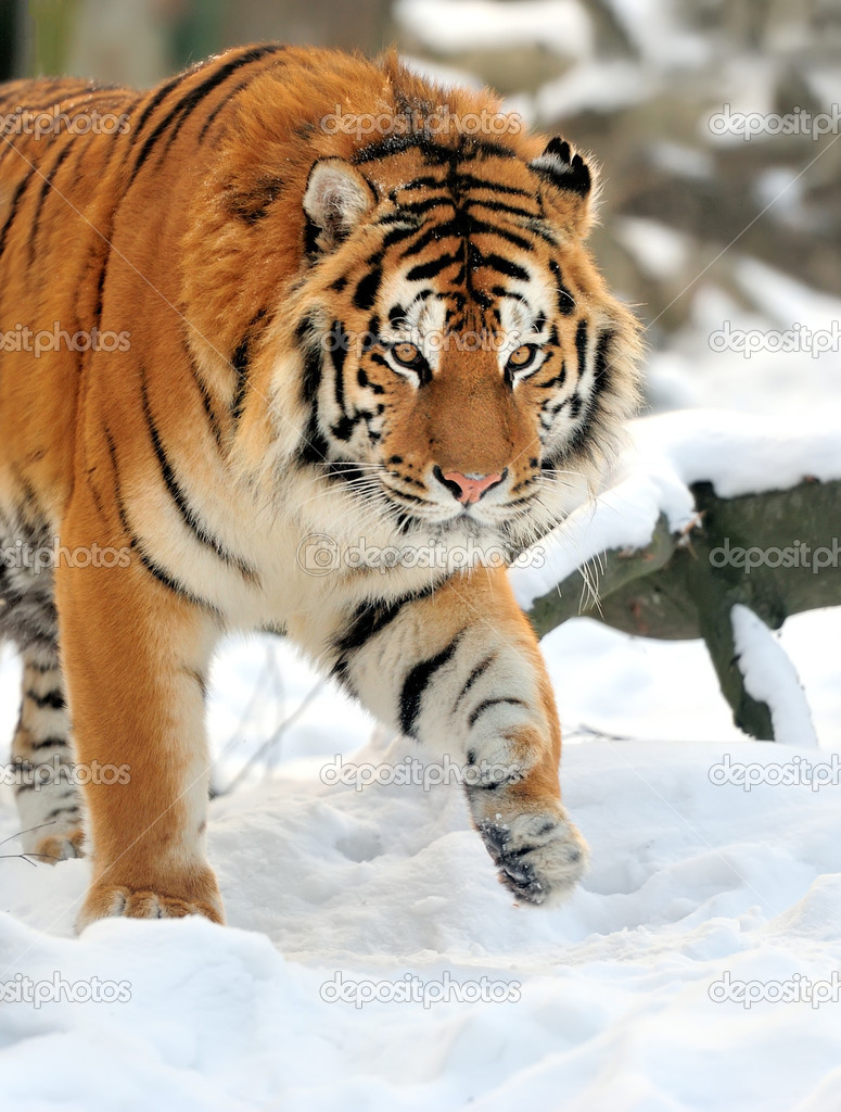 Beautiful wild siberian tiger on snow — Stock Photo #19317527