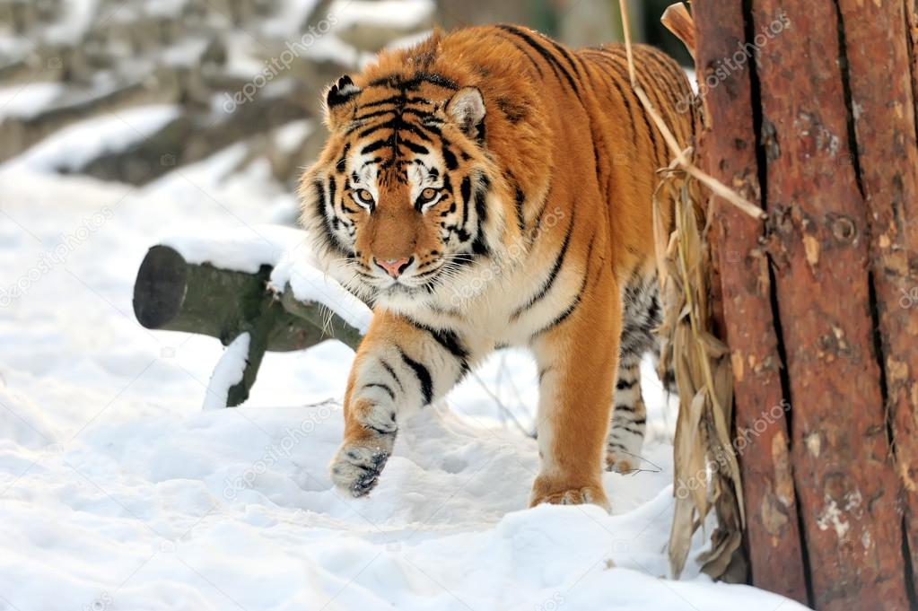 Beautiful wild siberian tiger on snow — Stock Photo #19317531