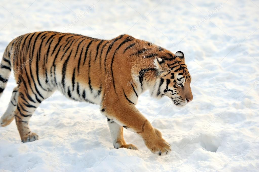 Beautiful wild siberian tiger on snow — Stock Photo #19317533