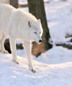 Wolf — Foto Stock