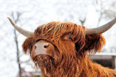 Scottish cattle — Stock Photo