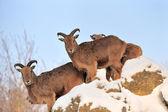 Ibex — Stock Photo