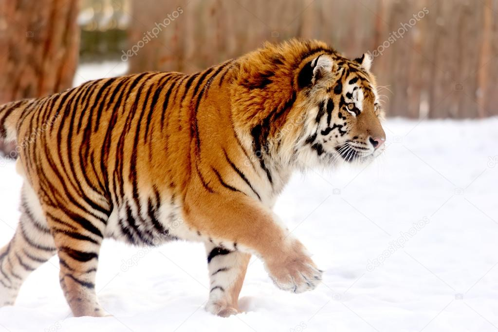 Beautiful wild siberian tiger on snow — Stock Photo #19668285