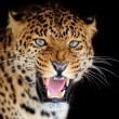 Leopard — Stock Photo #20693079