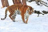 Tigre — Foto Stock
