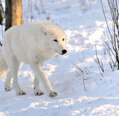 волк — Стоковое фото