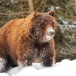 Wild brown bear — Stock Photo #21232917