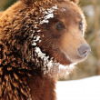 Stock Photo: Wild brown bear