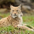 Stock Photo: Young lynx