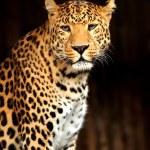 Leopard — Stock Photo #21232983