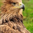 Photo: Eagle in grass