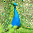 Stock Photo: Beautiful indian peacock