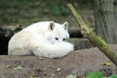 Wolf — Zdjęcie stockowe