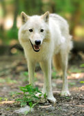 Wild wolf in the woods — Stock Photo