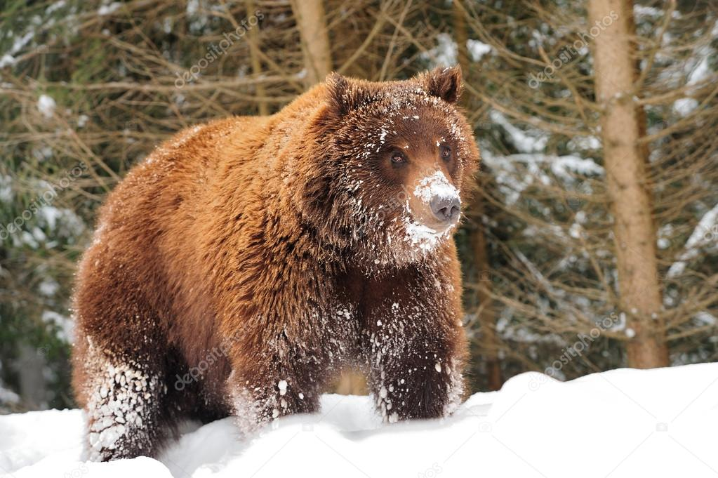 Wild brown bear in winter forest — Stock Photo #21232917