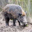 Wild boar — Stock Photo #21781797