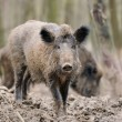 Wild boar — Stock Photo #21781801