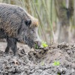 Wild boar — Stock Photo #21781805