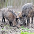 Wild boar — Stock Photo #21781807