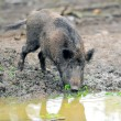 Wild boar — Stock Photo #21781811