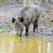 Wild boar — Stock Photo #21781813