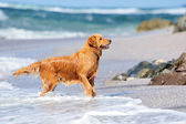 Young golden retriever — Stock Photo
