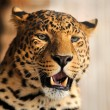 Leopard — Stock Photo #22346249