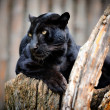 Stock Photo: Black leopard
