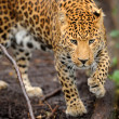 Leopard — Stock Photo #22346301