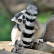 Stock Photo: Young ring-tailed lemur