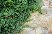 Old brick wall and wild grapes — Stock Photo
