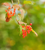 Berries of Viburnum opulus — Stock Photo