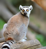 Young ring-tailed lemur — Stock Photo