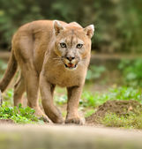 Cougar — Stock Photo
