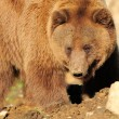 Big Brown Bear - Stock Photo