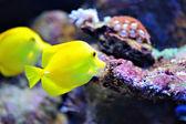 тропическая рыба — Стоковое фото